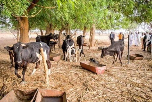 Image result for buhari cows